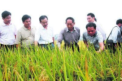 稻株身高可比8岁儿童(图)