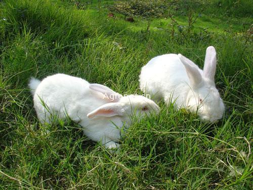 新西兰兔,养殖,广西桂林华祥种兔养殖基地