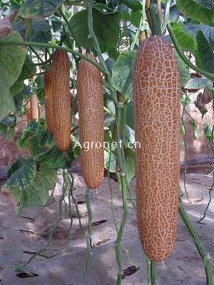 金星一号—黄瓜种子招商