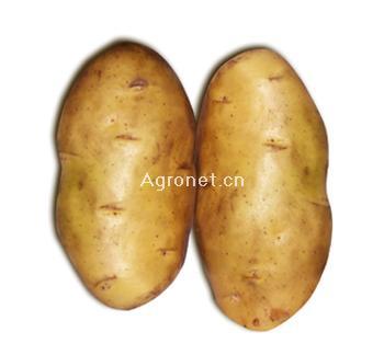 金薯王—馬鈴薯種子