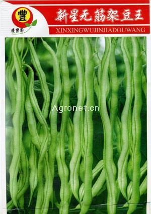 新星無筋架豆王—菜豆種子
