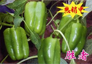 胜者—甜椒种子