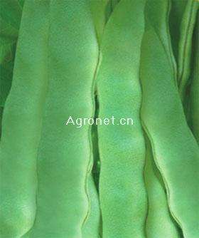 金星绿丰王—菜豆种子