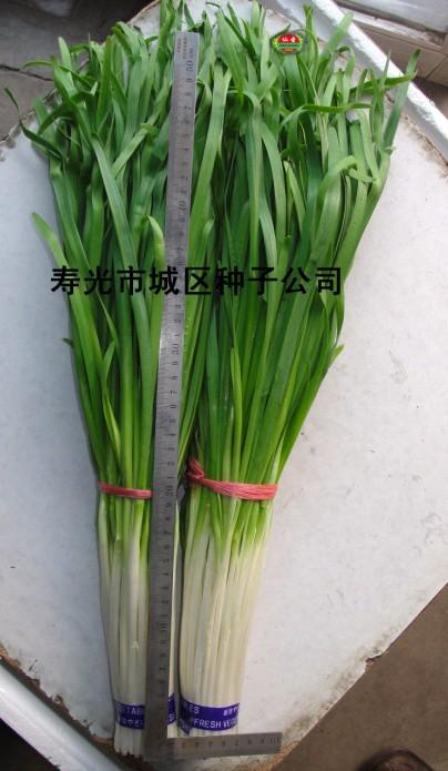 中華貢韭—韭菜種子