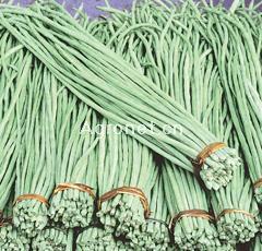 白金马—豇豆种子