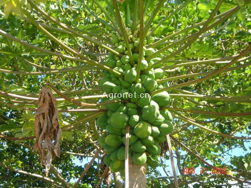 供应:菏泽木瓜树(规格3-50公分)