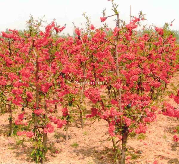 供皱皮木瓜苗,树型日本海棠花苗