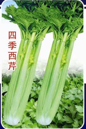 芹菜茎横切面手绘图