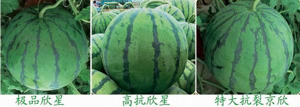 京欣类西瓜种子新品种招商中