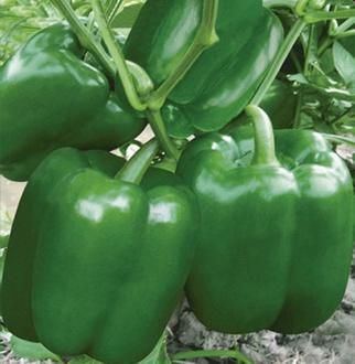 甜椒种子—盛大绿色甜椒种子